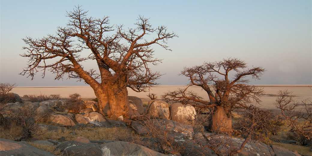Baobab_Pixabay