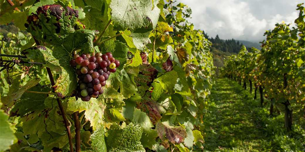 viniogradnik-pixabay