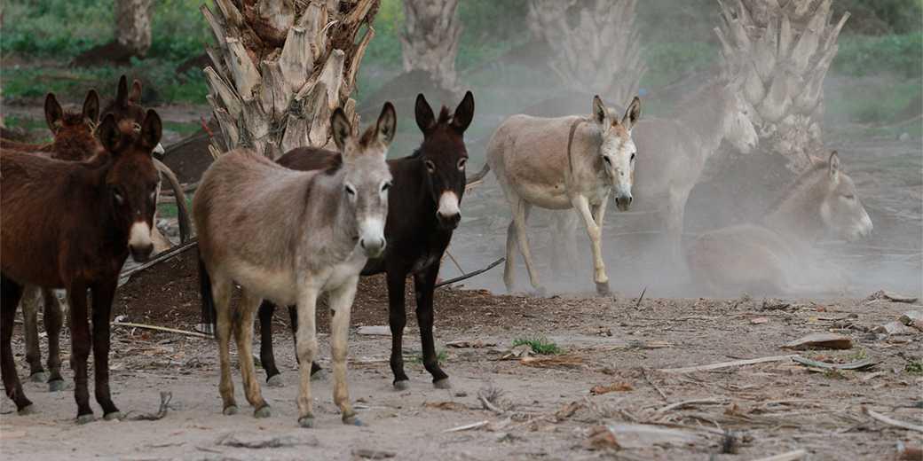 544517_Donkeys_GilKohenMagen