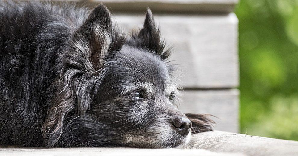 old_dog - pixabay