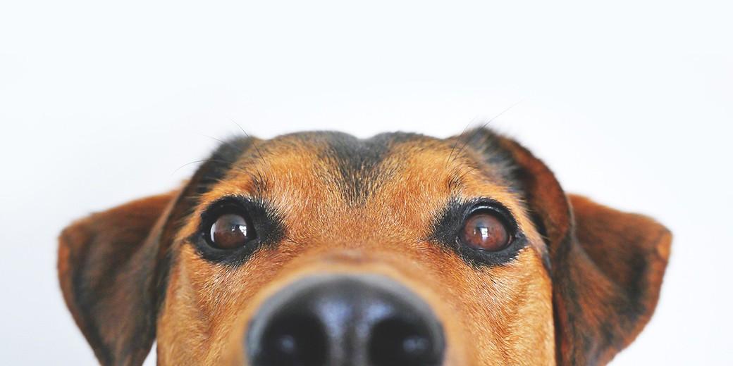 dog- pixabay