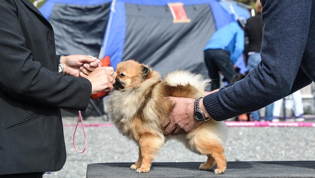 dog-show - pixabay