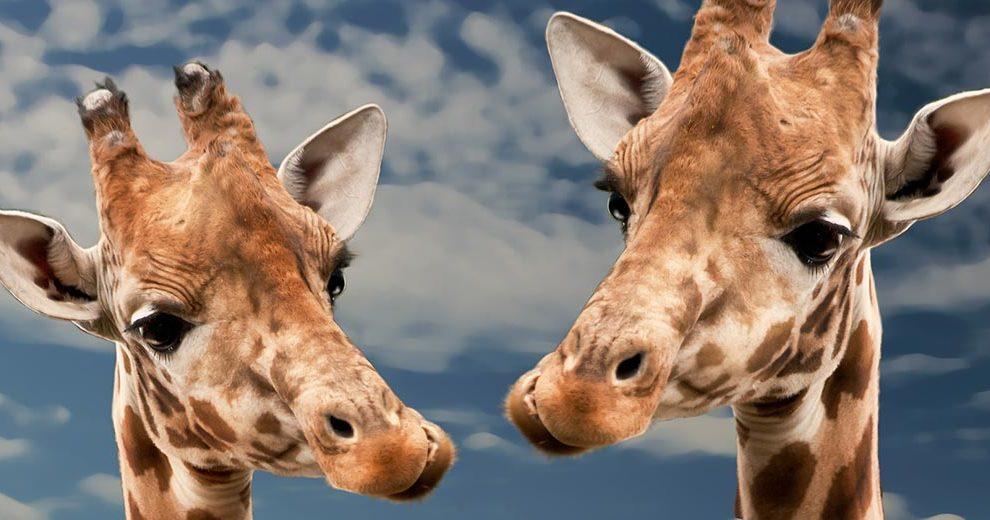 giraffe-pixabay