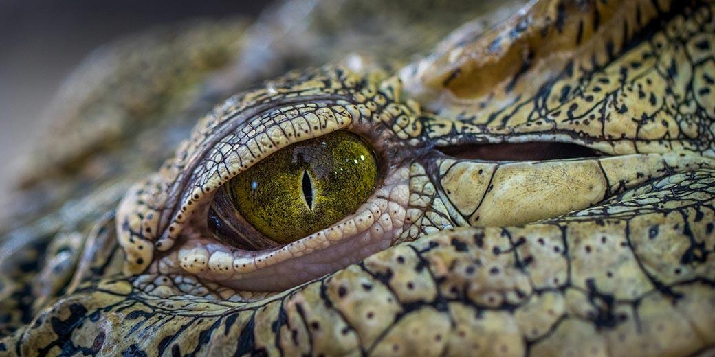 crocodile-Pixabay