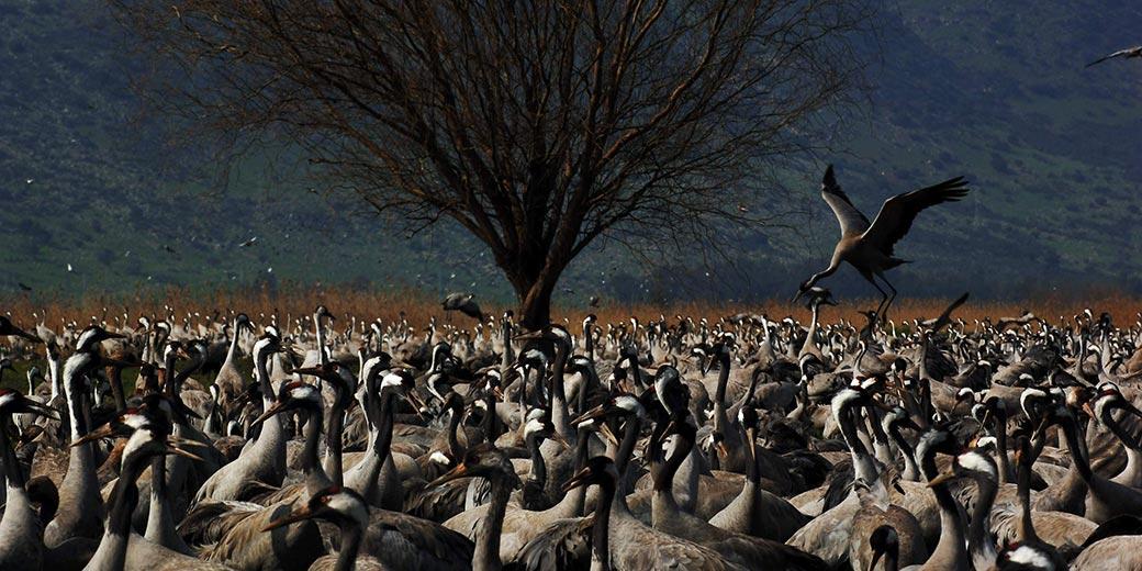 Yaron_Kaminski2007-6301_Cranes