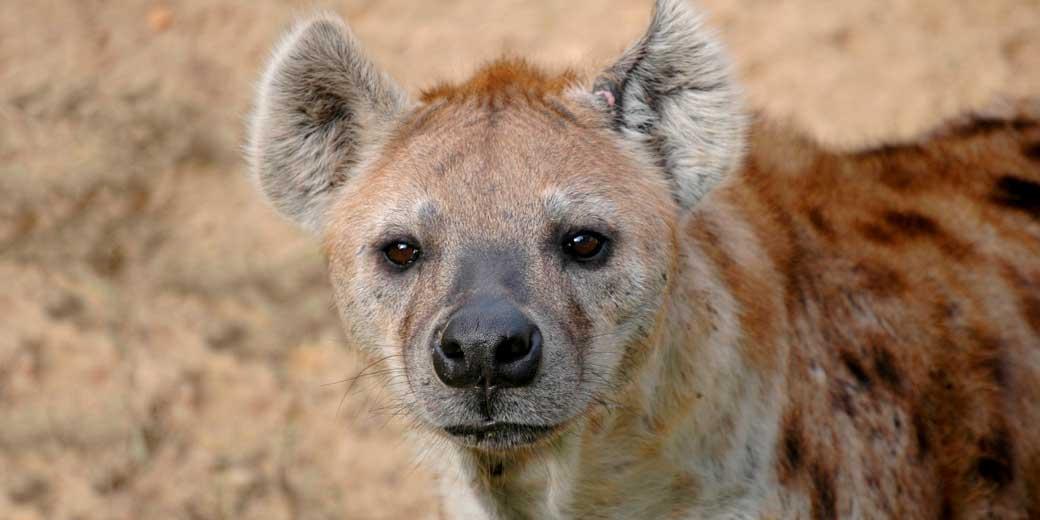 hyena-pixabay