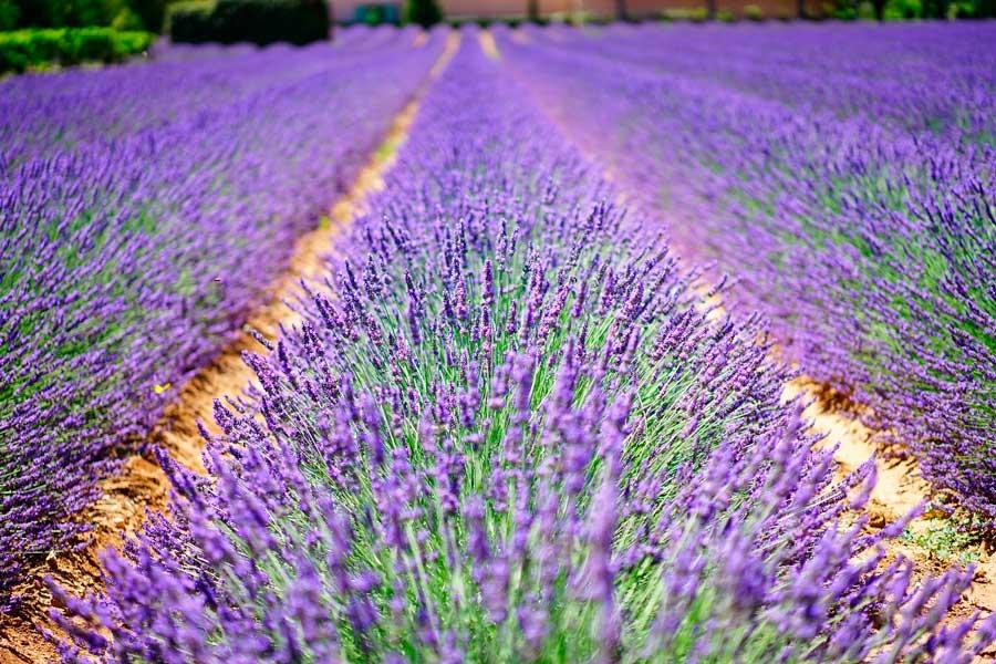 lavender-flowers--pixabay