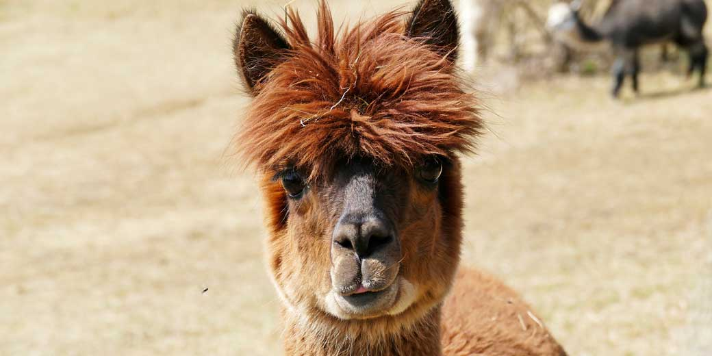 alpaca-pixabay