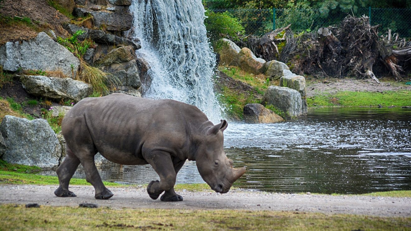 rhino--pixabay