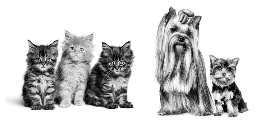 MAINE_COON_KITTEN_-_BIRTH___GROWTH_-_VET_VHN_EMBLEMATIC_Med._Res.___Basic