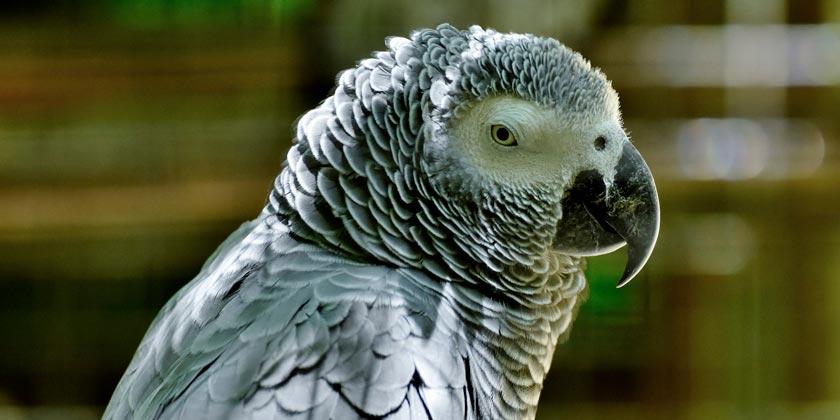 african-grey-parrot-pixabay