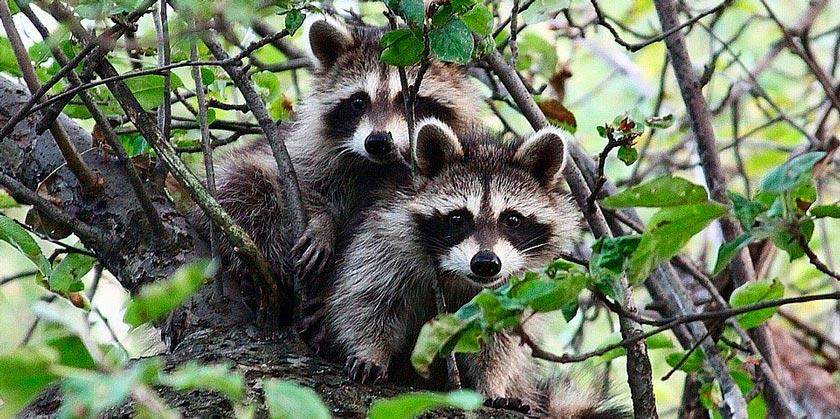 raccoon-pixabay