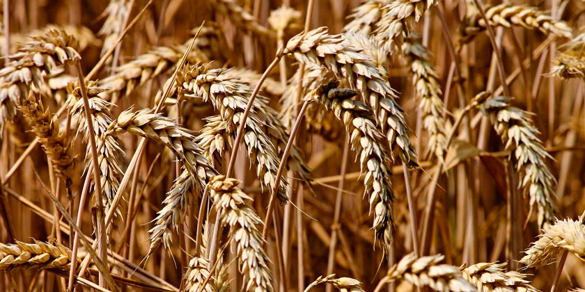 wheat-pixabay
