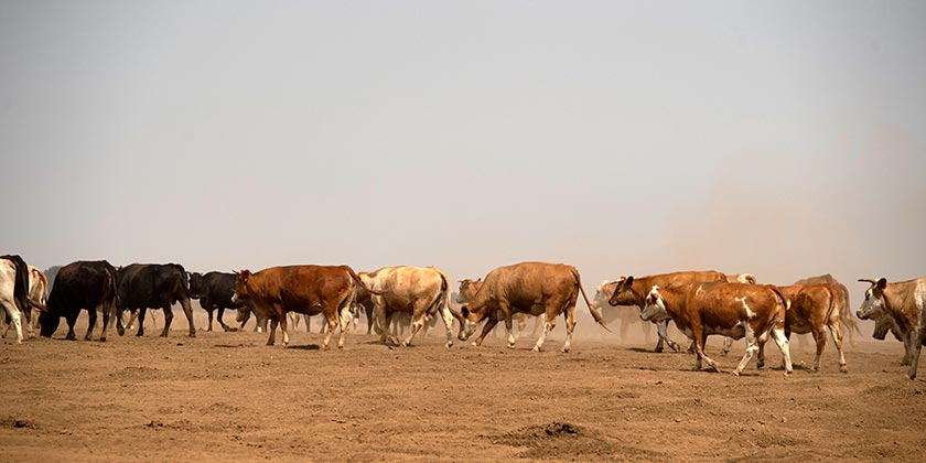 567898_Golan_Heights_cows_Weather_Elyahu_Hershkovich