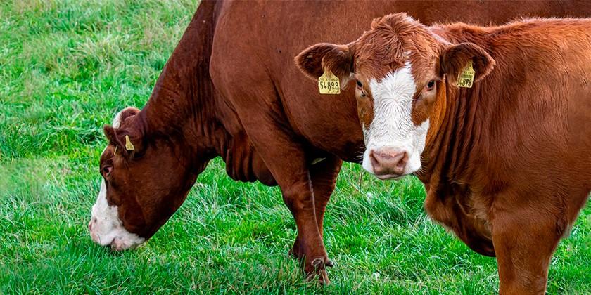 cows-pixabay