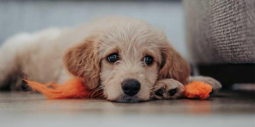 matthew-foulds-puppy-unsplash