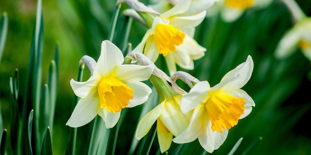 flower-narkis pixabay