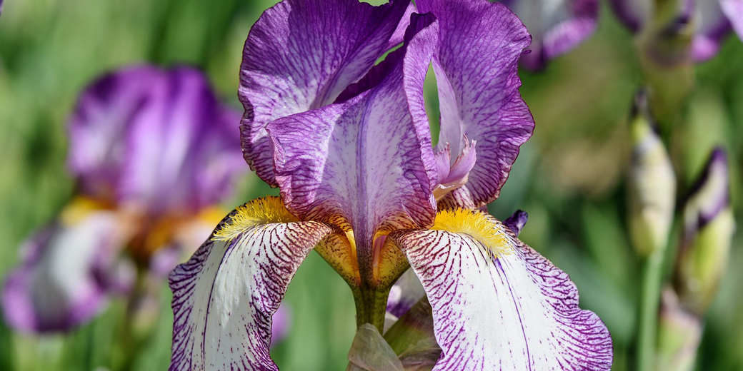 iris-pixabay