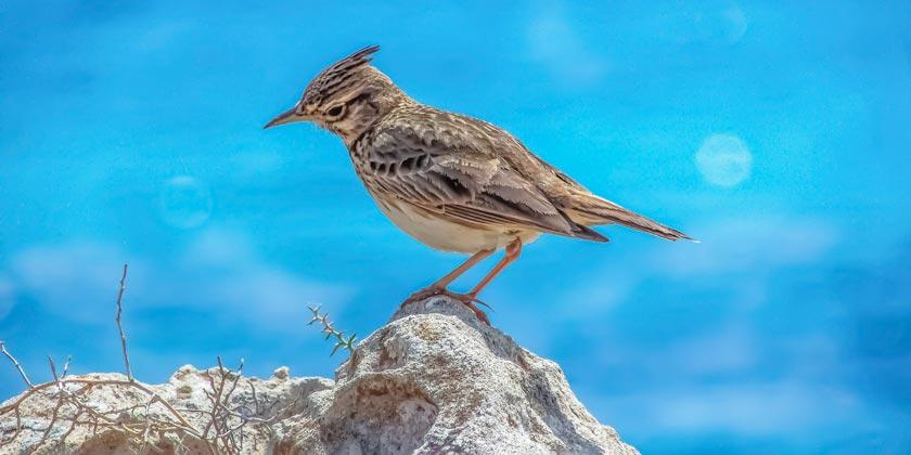 lark-bird-pixabay