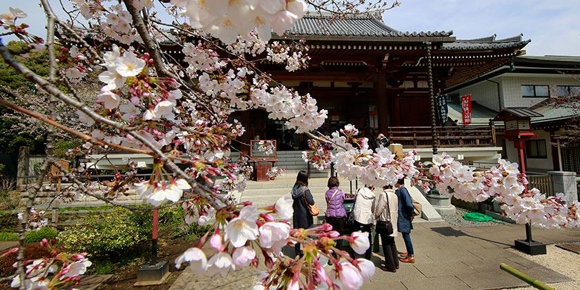 Japan_Cherry_Blossom_AP Photo Shizuo Kambayashi