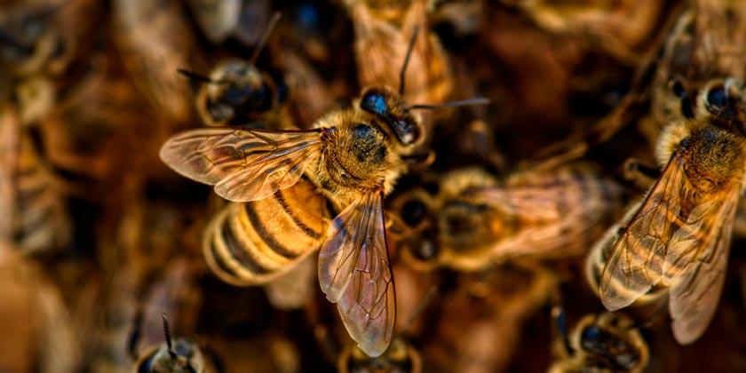 bees-pixabay