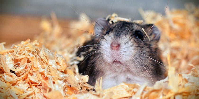hamster-pixabay