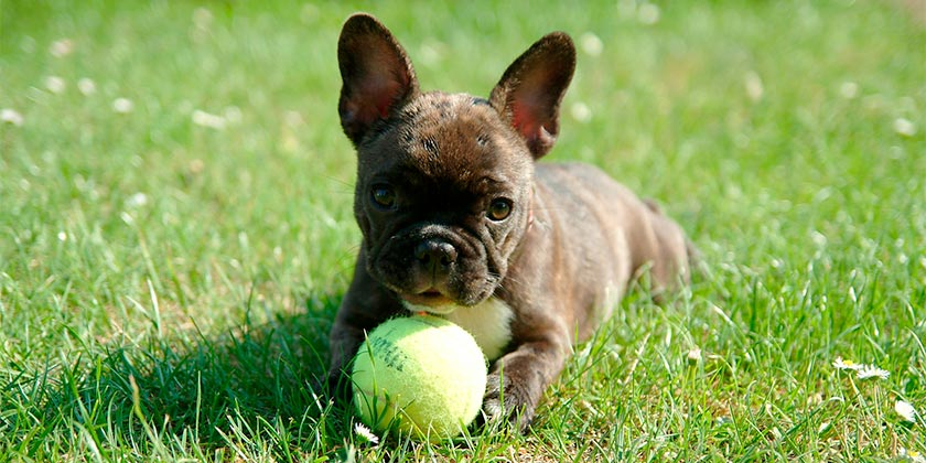french-bulldog-pixabay
